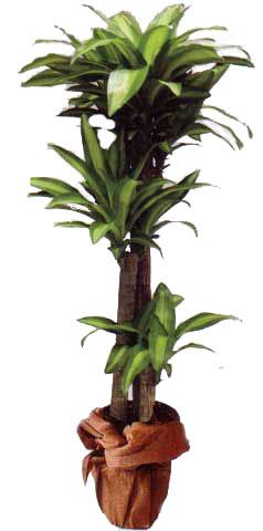 Masangane Saksı çiçeği