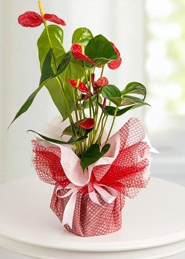 Antoryum Saksı Çiçeği