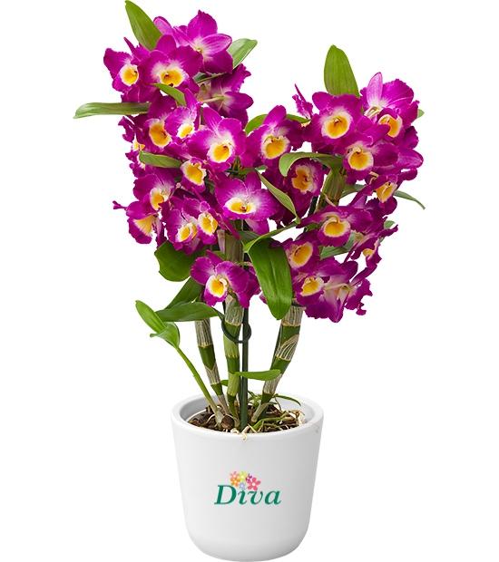 Dendrobium pembe orkide