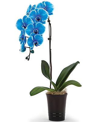 Tek Dallı Mavi Orkide