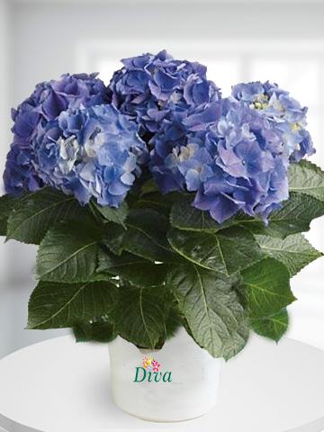 Ortanca Saksı Çiçeği Mor