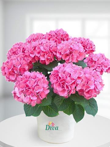 Ortanca Saksı Çiçeği Pembe