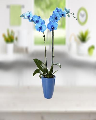 Çift Dallı Mavi Orkide