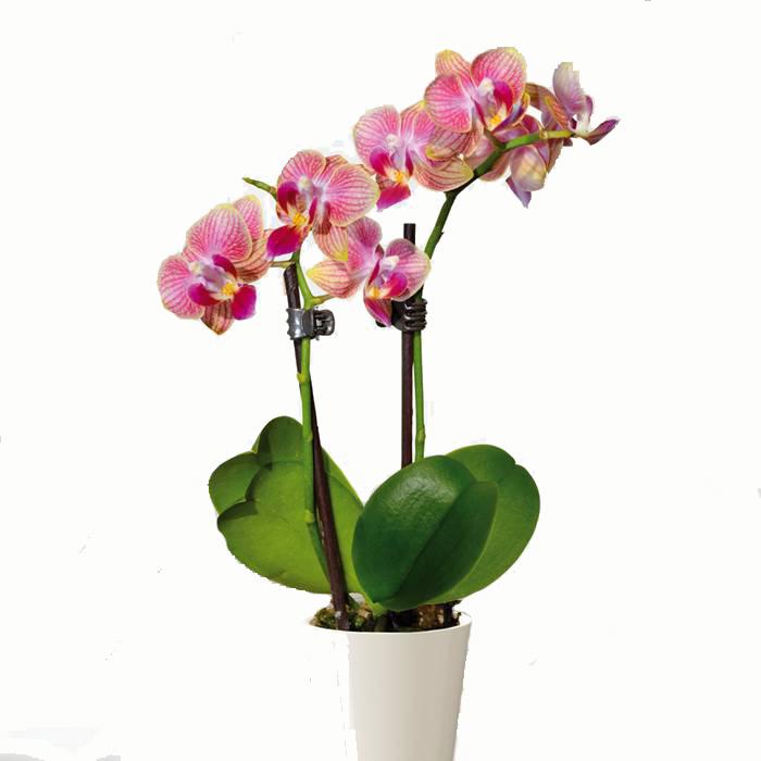 Çift Dalli Mini Orkide