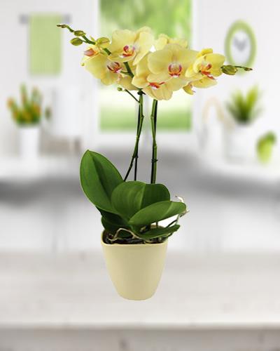 Çift Dallı Sarı Orkide