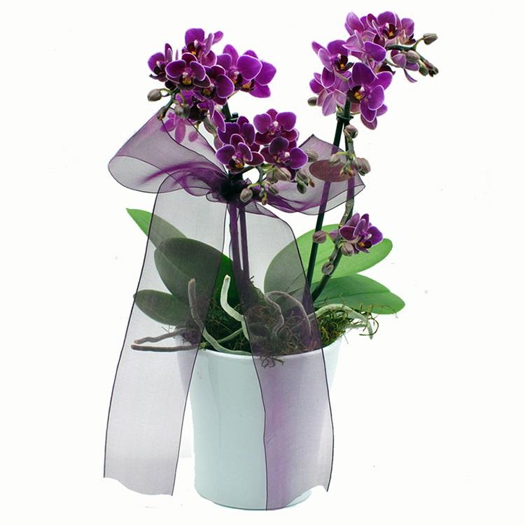 Fuşya Renkli mini orkide