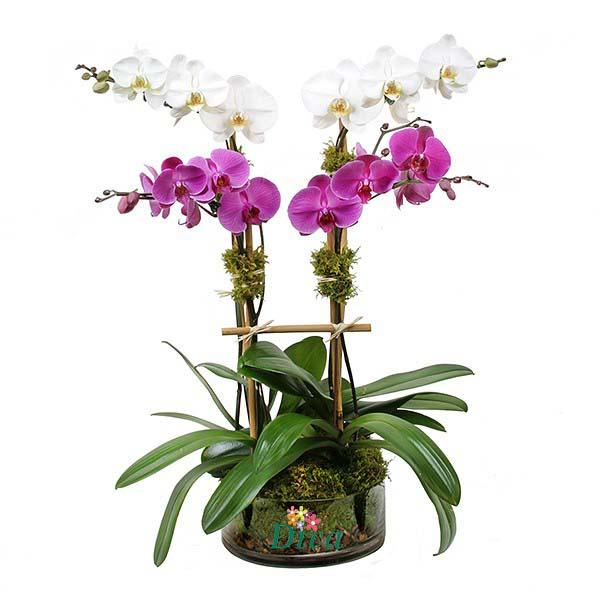 Pembe Beyaz Orkide
