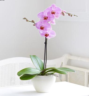 Tek dallı Pembe Orkide