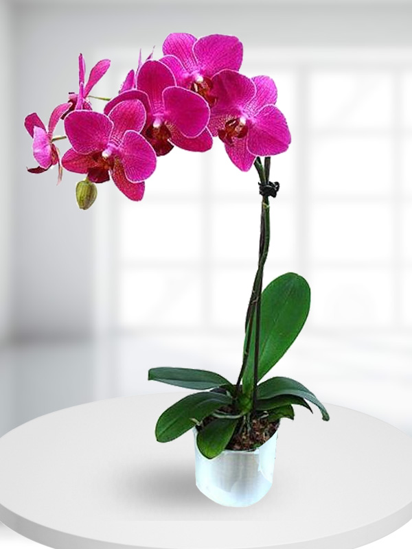 Tek Dallı Koyu pembe Renkli Orkide